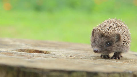 Prickly little hedgehog is looking for her mother Footage