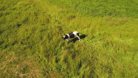 Cow at green meadow look at flying drone Archivo