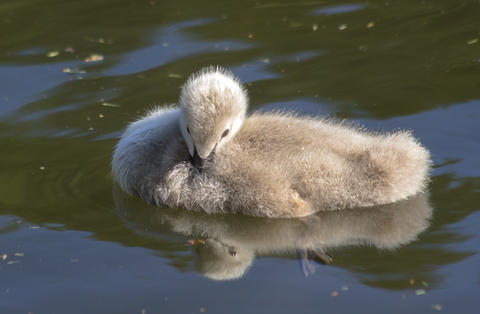 Sweet baby of a black swan, reflected in the pond フォト