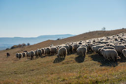 Flock of sheep grazing on meadow フォト