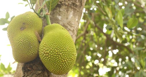 Jack fruit on tree in nature Live Action