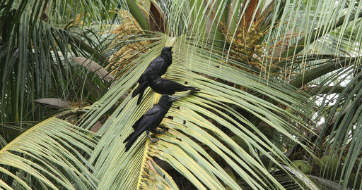 Crows on the Coconut Tree GIF