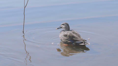Spot-billed Ducks on the banks of the pond,in Showa Memorial Park,Tokyo,Japan,Fi Footage