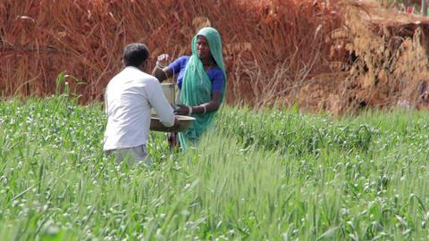 Indian farmers scatter fertilizer on the fields ビデオ