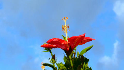 Zoom out shot of a bright red hibiscus flower enjoying the morning sunshine and