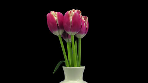 Growing, opening and rotating red-white tulips in RGB + ALPHA matte format Footage