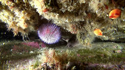 Sea urchins on seabed of Barents Sea Footage