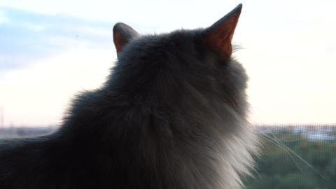 Gray fluffy cat looking out the window Stock Video Footage