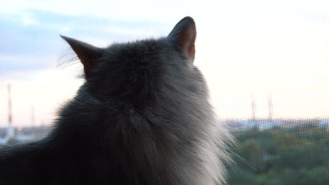 Gray fluffy cat looking out the window Archivo