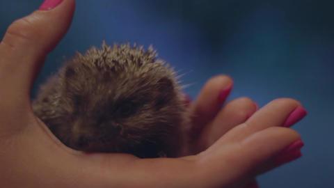 Tiny hedgehog on women's palms Archivo