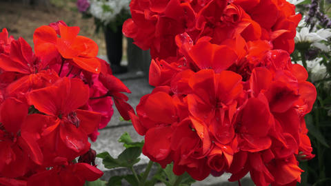 Red flower. Flowers on the grave. (Pelargonium grandiflorum ) Footage