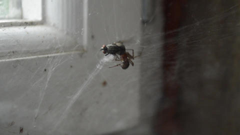 Spider eats a fly in the web