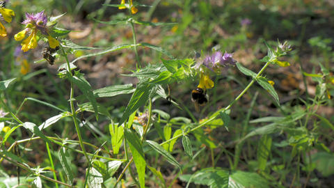 Bumblebee flies on flowers, in the forest. On a sunny summer day GIF