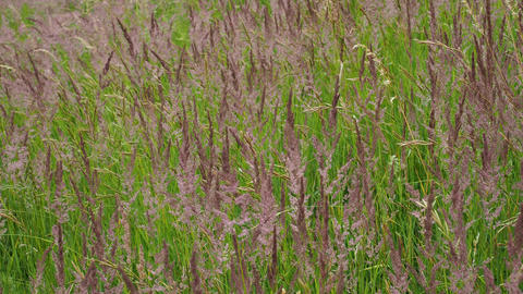 Blooming grasses in a meadow. Wind on the grass Live Action