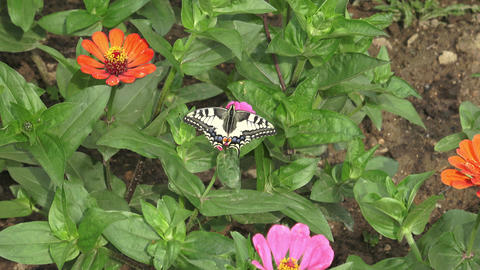 Butterfly on pink flower in the garden Archivo