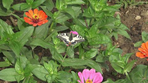Butterfly on pink flower in the garden ビデオ