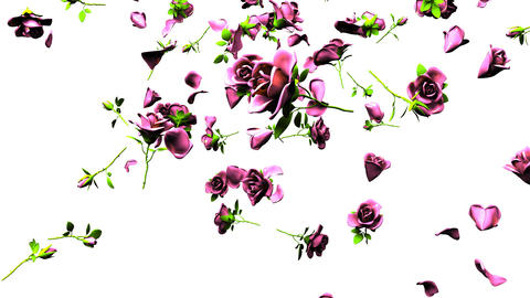 Falling Pink Roses On White Background Animation