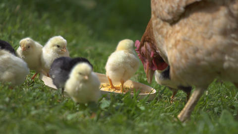 Baby chicks and mother hen feed on bio farm Live Action