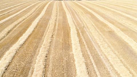 Harvested wheat field ビデオ