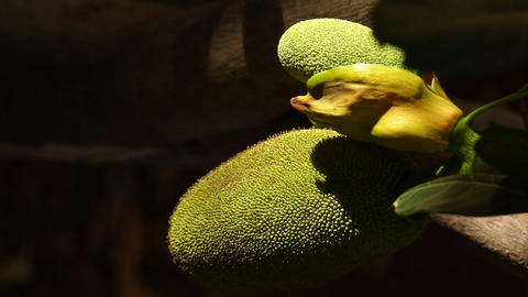 jack fruit on tree in nature Footage