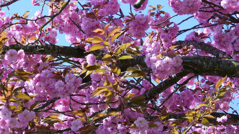 Composition With Pink Sakura Flowers stock footage