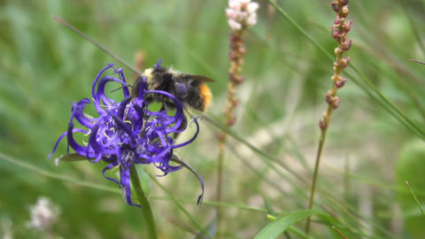 Bumblebee pollinating flower Slow motion Footage