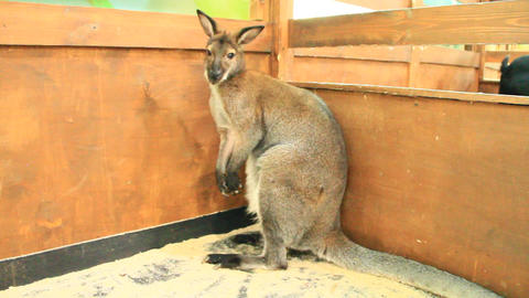 Kangaroo at zoo. Wallaby Footage