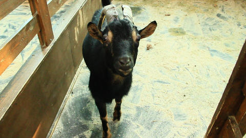 Goat close up in zoo 영상물