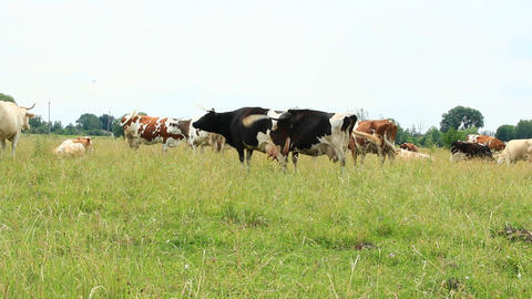 Cows on pasture in field. Domestic animals graze on meadow Footage