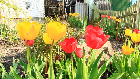 Yellow and red tulips on flower bed near house. Spring garden. Landscape design Footage