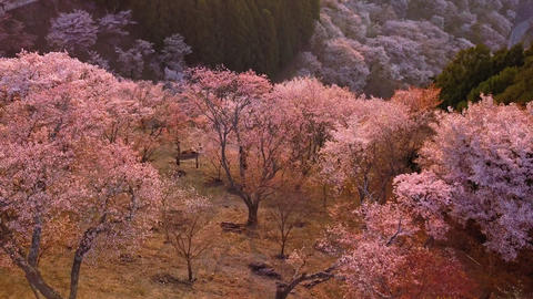 Aerial shot of Sakura in Japan forest ภาพวิดีโอ