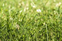 Green grass with white clover blossom Trifolium repens フォト