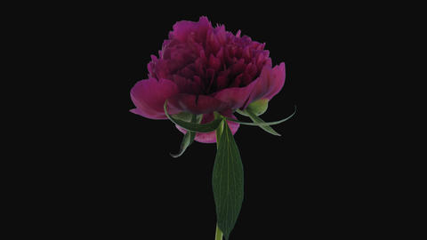 Time-lapse of opening purple peony, 4K with ALPHA channel Footage