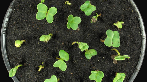 Time-lapse of growing radish vegetables with ALPHA channel, top view GIF