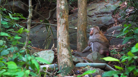 wild monkey goes into the jungle, natural habitat, wild... Stock Video Footage