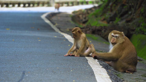 monkey is sitting on the road in the park. Asia, tropical forest, national park Footage