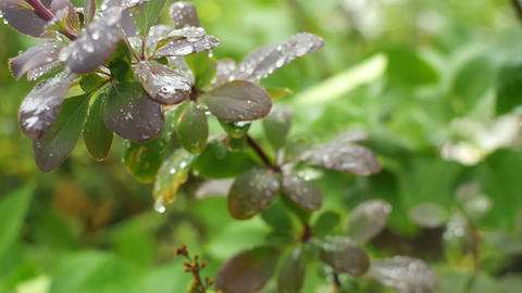 Selective focus on a branch of berberis with raindrops ビデオ