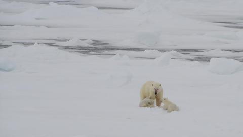 Polar Bear with cub Archivo