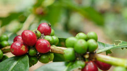 Coffee-plantation at north, Thailand ビデオ