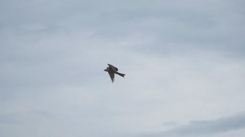 Bird of prey flying against cloudy sky Stock Video Footage