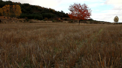 A red tree in a field in the Spanish countryside Footage
