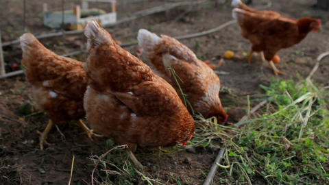 Organic grown chickens eating Stock Video Footage