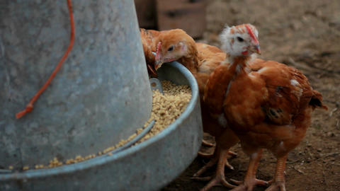 Little chickens eating Stock Video Footage