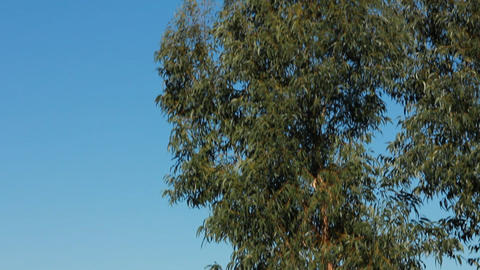 Eucalyptus Stock Video Footage