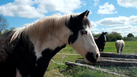 A brown Irish horse eating from the hands of a wom Stock Video Footage