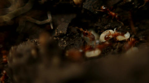 Ants – Macro Stock Video Footage