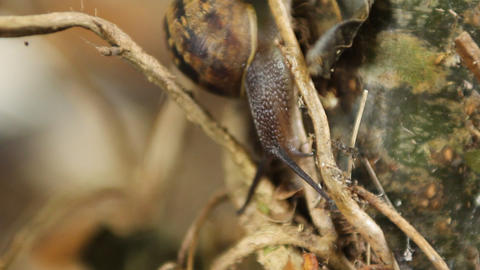 A Snail climbing, with macro lens Stock Video Footage