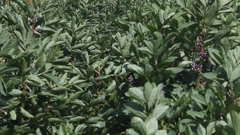 Plants of potatoes in a windy day Stock Video Footage