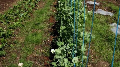 A field of organic peas Footage