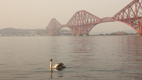 Swans with the Forth bridge behind Stock Video Footage